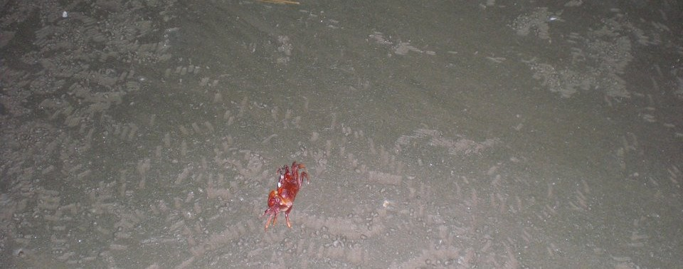 Sighting red crabs at Mandarmani beach
